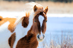 Wilde Poney Chincoteague Stock Fotografie
