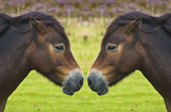 Wilde poneybezinning, neus aan neus Royalty-vrije Stock Foto