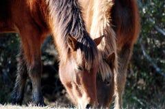 Wilde poneys Royalty-vrije Stock Afbeeldingen
