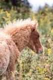Wilde poneys Stock Afbeelding