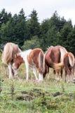 Wilde poneys Stock Fotografie