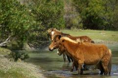 Wilde poneys Royalty-vrije Stock Afbeelding