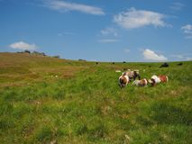 Wilde poneys die Grote Verbindingenpiek, Dartmoor overzien Stock Afbeelding
