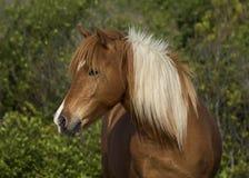 Wilde Pony Portrait Lizenzfreie Stockfotos