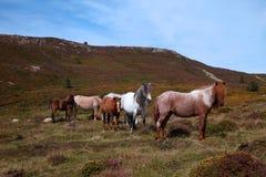 Wilde Ponys Stockbild
