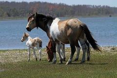 Wilde Ponys stockfotos