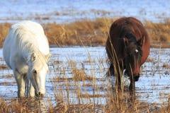 Wilde Ponys Stockfotografie