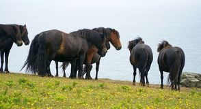 Wilde Ponys, die heraus zum Meer schauen Stockfoto