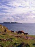 Wilde Ponys Pembrokeshire Stockfotos