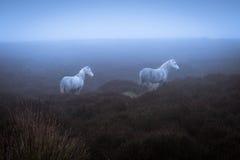 Wilde Ponys und atmosphärisches Licht stockbilder