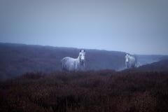 Wilde Ponys und atmosphärisches Licht Stockfotos