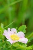 Wilde prairierozen - Rosa arkansana stock fotografie