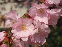Wilde pruim in de lente in de zon Stock Foto's