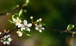 Wilde pruimboom in volledige bloei Royalty-vrije Stock Foto's