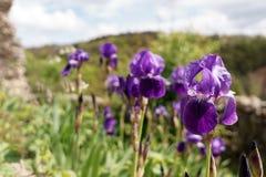 Wilde Purpere Bloemen Stock Afbeeldingen