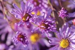 Wilde purpere echinaceabloemen in de herfst in de ochtend stock foto