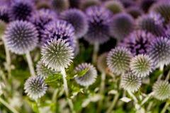 Wilde purpere groene thistel bloeit achtergrondmakro Royalty-vrije Stock Afbeeldingen