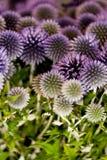 Wilde purpere groene thistel bloeit achtergrondmakro Royalty-vrije Stock Foto's