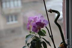 Wilde purpere Orchidee thuis op het venster Royalty-vrije Stock Afbeelding