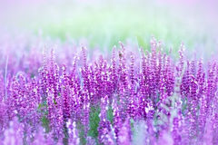 Wilde purpurrote Blumen Stockbild