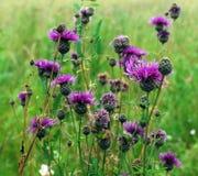 Wilde purpurrote Blumen im Gras Stockbilder