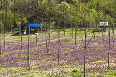 Wilde purpurrote Blumen im Obstgarten Lizenzfreies Stockfoto