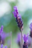 Wilde purpurrote Blumen Makro Stockbild