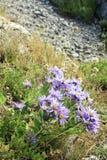Wilde purpurrote Blumen von Krim Lizenzfreie Stockbilder