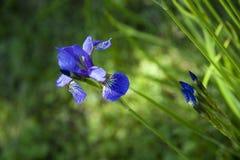 Wilde purpurrote kleine Blumeniris auf einem grünen Sommer bokeh Hintergrund stockbild