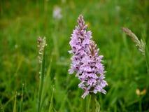 Wilde purpurrote Orchidee auf den Südabstiegen stockfotografie