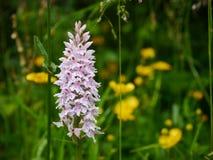 Wilde purpurrote Orchidee auf den Südabstiegen stockfotos