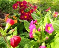 Wilde purpurrote, violette und orange Primelanlagen stockbilder