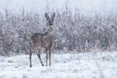 Wilde reeën in een sneeuwstorm royalty-vrije stock afbeelding