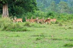Wilde reeënkudde op een gebied in Nepal stock afbeelding