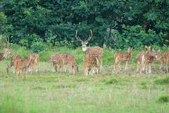 Wilde reeënkudde op een gebied in Nepal royalty-vrije stock fotografie