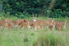 Wilde reeënkudde op een gebied in Nepal royalty-vrije stock afbeelding