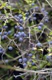 Wilde reifende Blaubeeren Stockfotografie