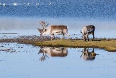 Wilde rendieren door het meer - het Noordpoolgebied, Svalbard Royalty-vrije Stock Afbeelding