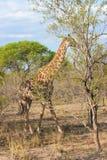 Wilde retikulierte Giraffe und afrikanische Landschaft in nationalem Kruger parken in UAR Lizenzfreie Stockfotografie