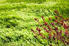 Wilde rode bloemen op een achtergrond van tarwegebieden van smaragdgroen in de Himalayan-bergen nepal Marfa Village Stock Fotografie