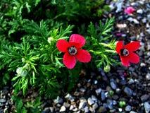 Wilde rode papaver Royalty-vrije Stock Afbeelding
