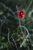 Wilde rode papaver Stock Afbeeldingen