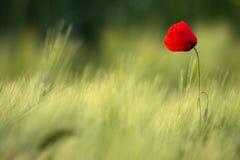 Wilde Rode Papaver, Schot met een Ondiepe Diepte van Nadruk, op een Geel Tarwegebied in The Sun Eenzame Rode Poppy Close-Up Among Stock Afbeeldingen