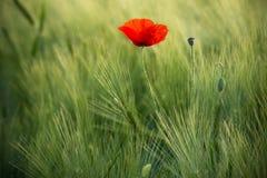 Wilde Rode Papaver, Schot met een Ondiepe Diepte van Nadruk, op een Groen Tarwegebied in The Sun Eenzame Rode Poppy Close-Up Amon royalty-vrije stock afbeelding