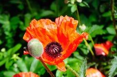 Wilde rode papavers op heldere zonnige dag Stock Afbeeldingen