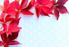 Wilde rode wijnstok Stock Foto's
