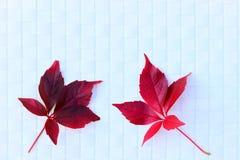 Wilde rode wijnstok twee bladeren Stock Foto