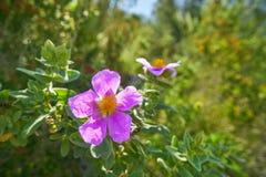 Wilde rosa Blumen von Montgo-Berg lizenzfreie stockfotos