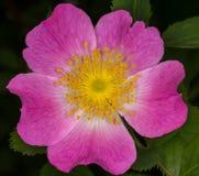 Wilde rosafarbene Blume Lizenzfreie Stockfotografie