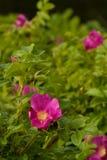 Wilde rosafarbene Blume Stockbilder